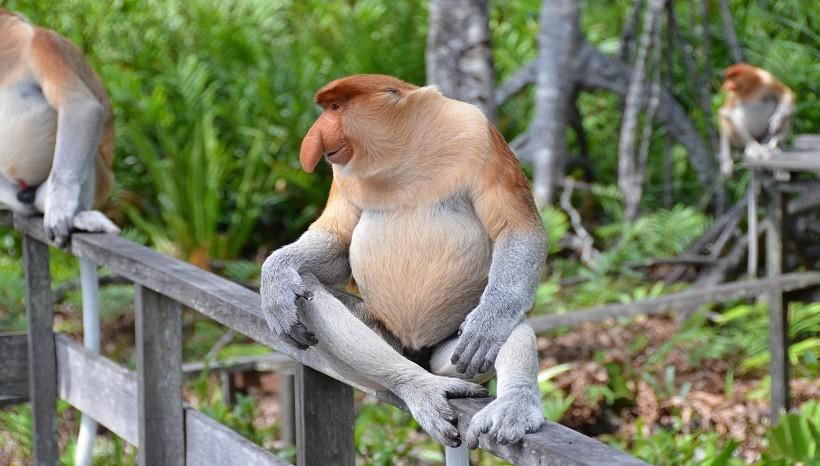 Proboscis Monkey Habitat