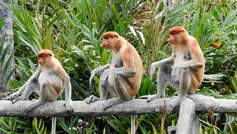 Proboscis monkey Facts, Habitat, pics and All Information