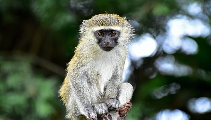 Vervet Monkey Pet