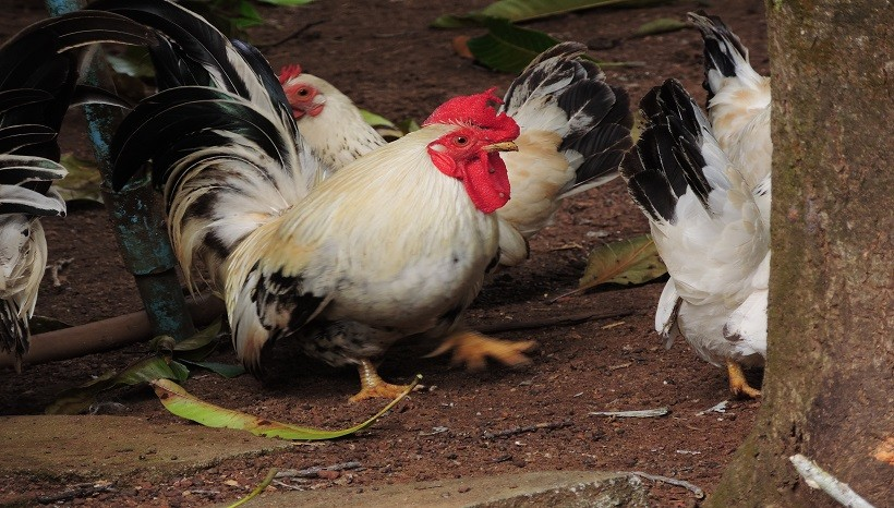 Dorking Chicken Breeds, Care, Eggs, Facts and All Information