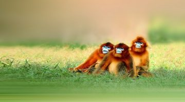 Golden Monkey Facts, Diet, Habitat and All Information