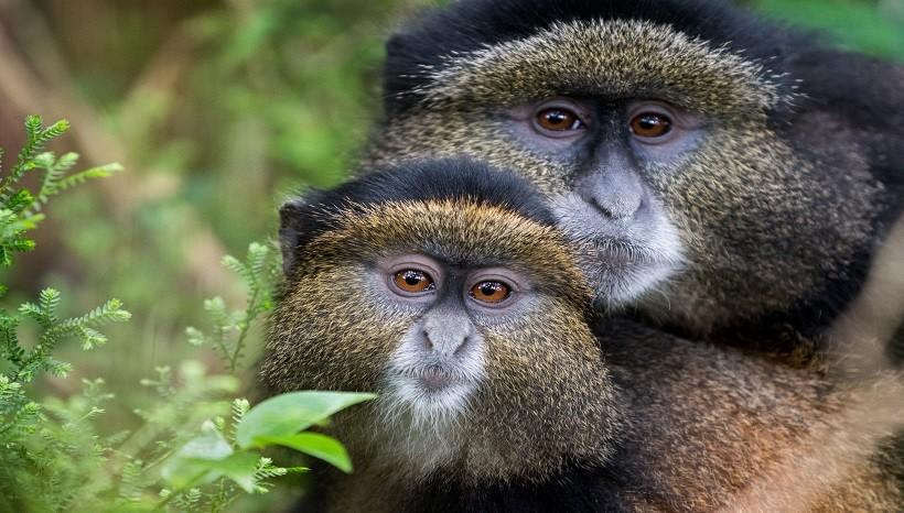 Golden Monkey Information