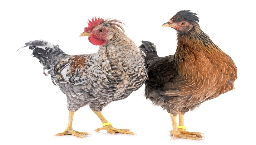 Legbar Chicken Breed, Eggs, Sale and All Information