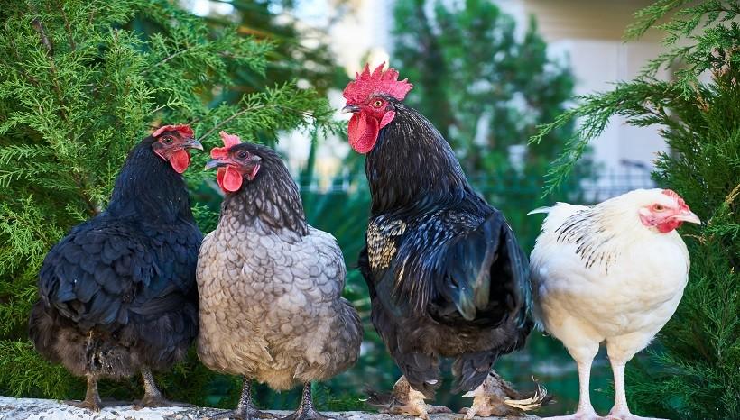 Leghorn Chicken Breed