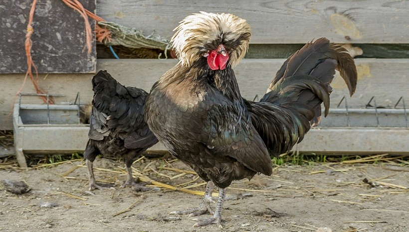 Polish Chicken Breeds, Facts, Color, Eggs, Sale and All Information