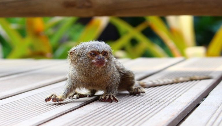 Pygmy Marmoset Facts, Pet, Lifespan, Pictures and All Information