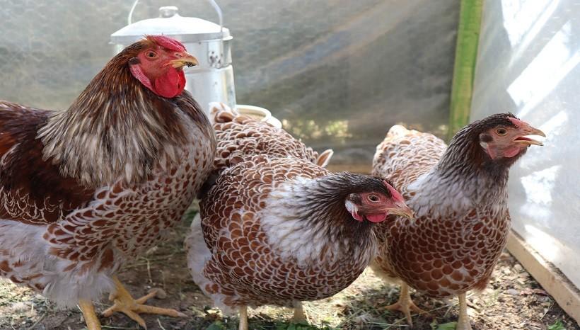 Wyandotte Chicken Breeds
