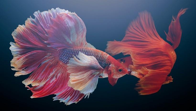 Angry Betta Fish