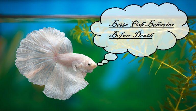 Betta Fish Behavior Before Death