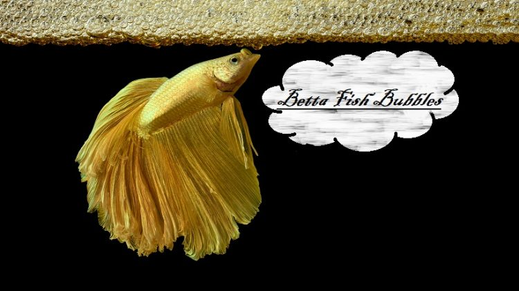 Betta Fish Bubbles | Nest, Making, In Fish Tank | Petshoods
