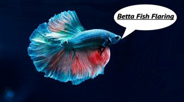 Betta Fish Flaring | Male Bettas Flares at Females | Gills at me and Food