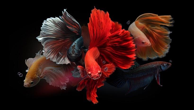 Betta Fish Flaring Gills