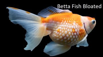 Betta Fish Bloated | Popeyes, Constipation, Dropsy, Treatment