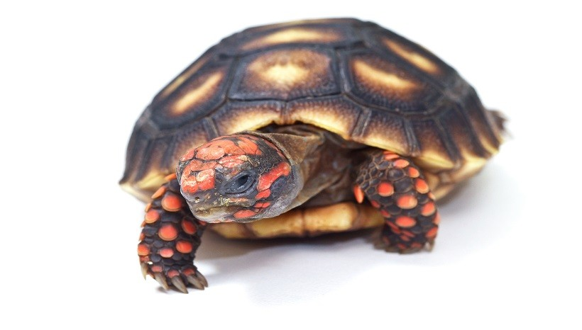Cherry head red foot tortoise care