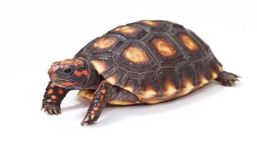 Cherry head tortoise care