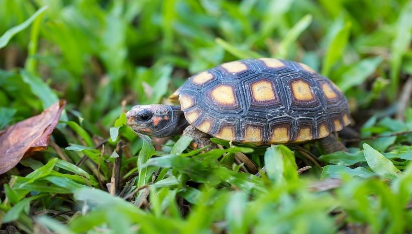 Cherry head tortoise vs red foot