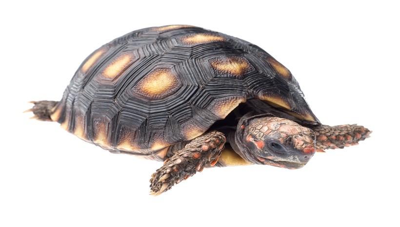 Cherry head tortoise weight