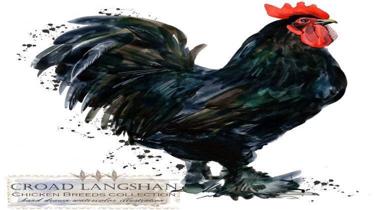 Croad Langshan | Color, Egg Size, Egg Color, Care, Breeders