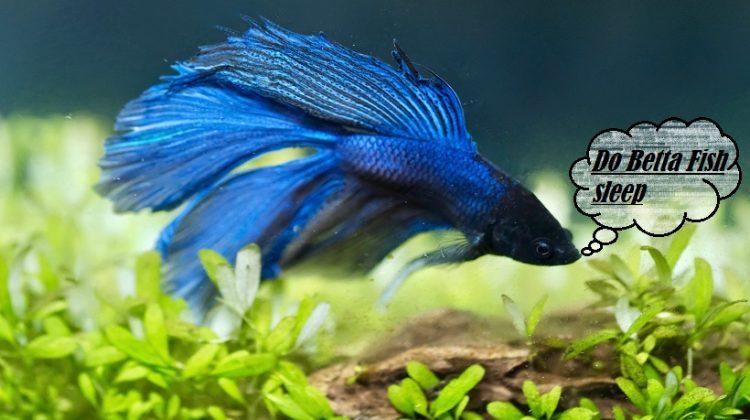Do Betta Fish sleep | Possess Eyelids, Sleep Vertically And How Long?