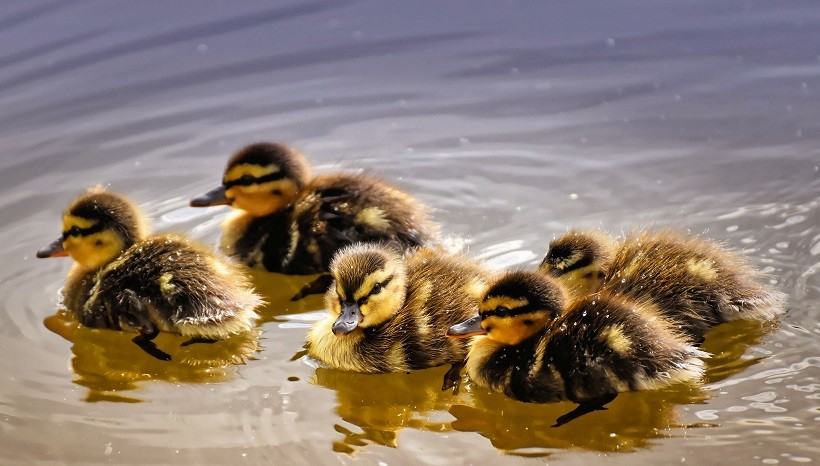 Duclair Ducks