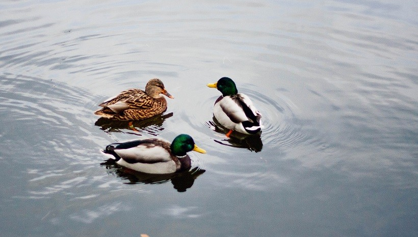 Duclair duck and Black Swedish duck
