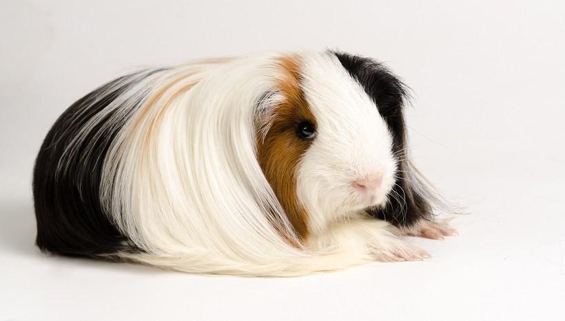 Peruvian silkie guinea pig