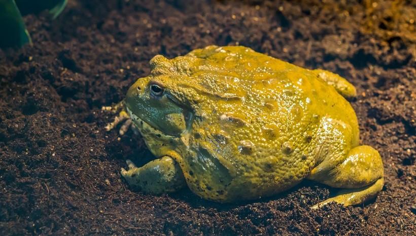 Pixie Frog size