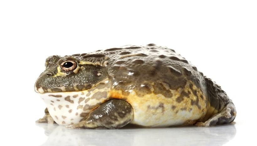 Pixie frog Habitat