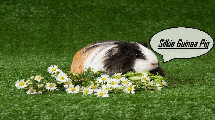 Silkie Guinea Pig | Facts, Lifespan, Characteristics, Price