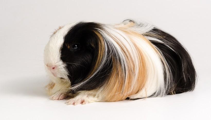 Silkie guinea pig care plan