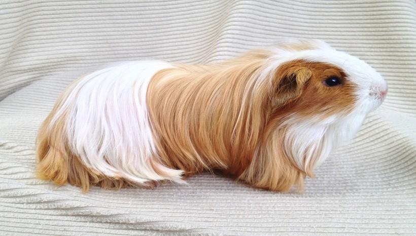 Silkie guinea pig life span