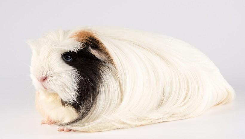 Silkie guinea pig price