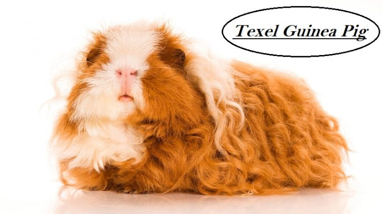 Texel Guinea Pig | Facts, Appearance, Grooming, Diet, Price