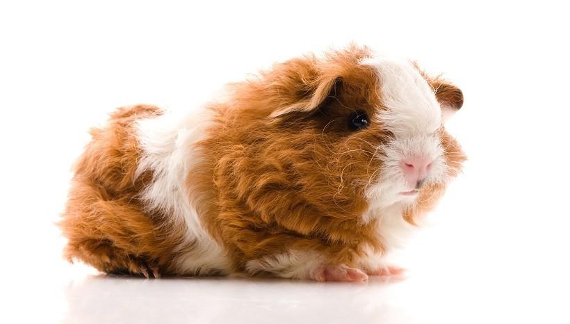Texel Guinea Pig types