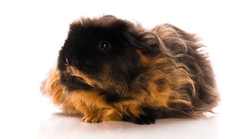 Texel guinea pig appearance