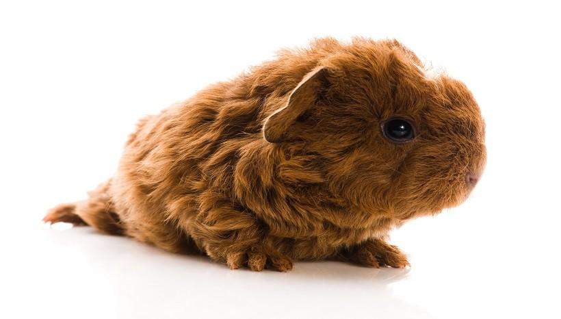 Texel guinea pig baby