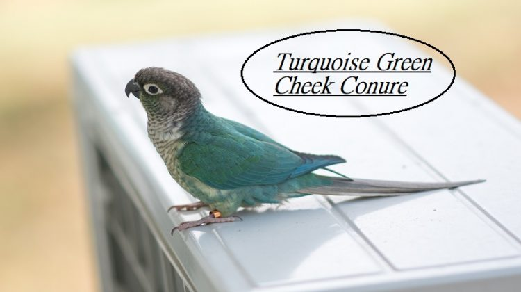 Turquoise Green Cheek Conure Complete Information