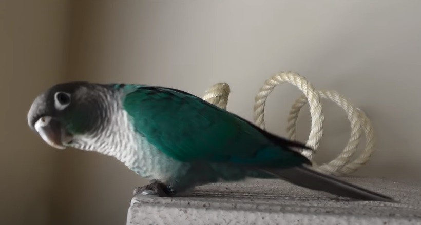 Turquoise green cheek conure size & weight