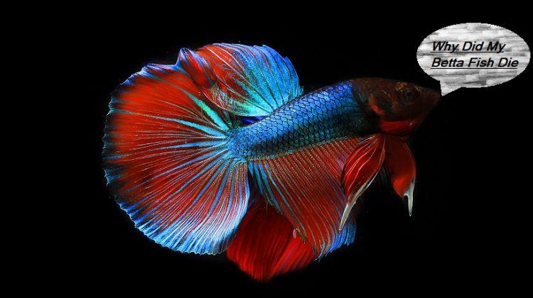 Why Did My Betta Fish Die? | Causes, Behavior, Symptoms