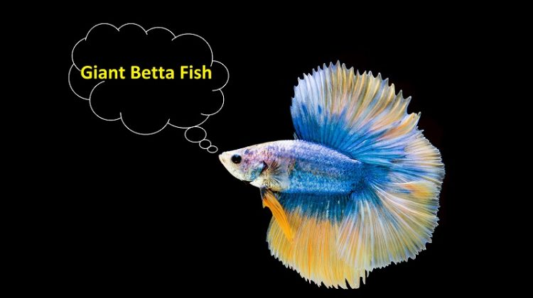 Giant Betta Fish Size, Lifespan | King Betta Fish Vs Giant Betta