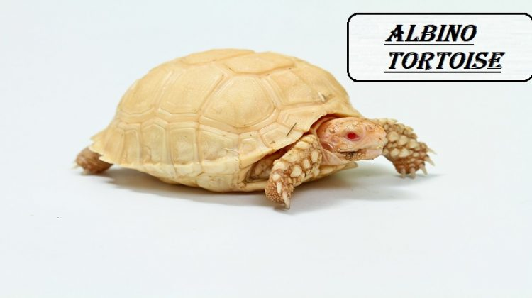 Albino Tortoise | Lifespan, Care, Types, Price, Tortoiseshell