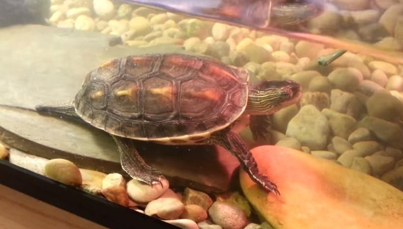 Baby Golden Thread Turtle