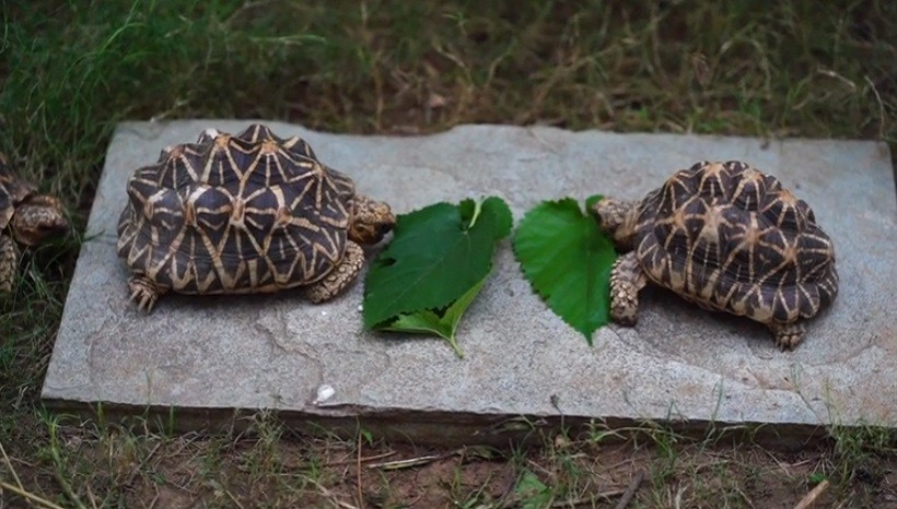 Can Hermann tortoises eat spinach