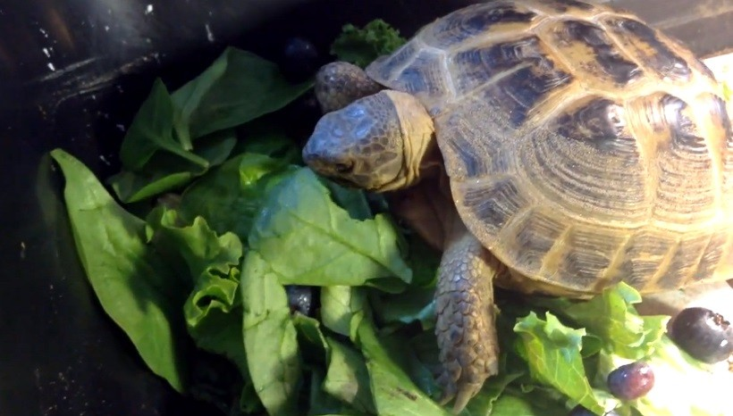 Can Horsefield tortoises eat spinach