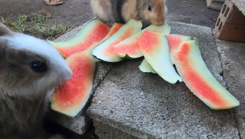 Can Rabbits Eat Watermelon Rind