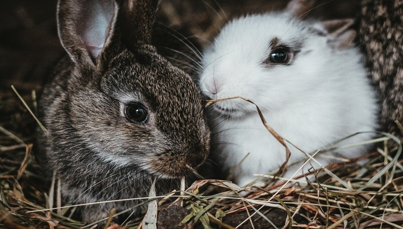 Do Rabbits Eat Tomato Plant Leaves