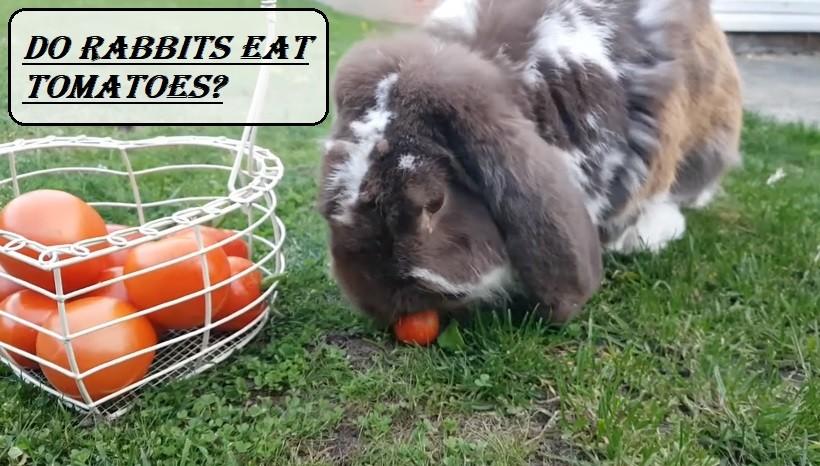 Do Rabbits Eat Tomatoes