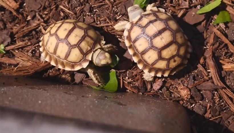 Full-grown Sulcata Tortoise For Sale