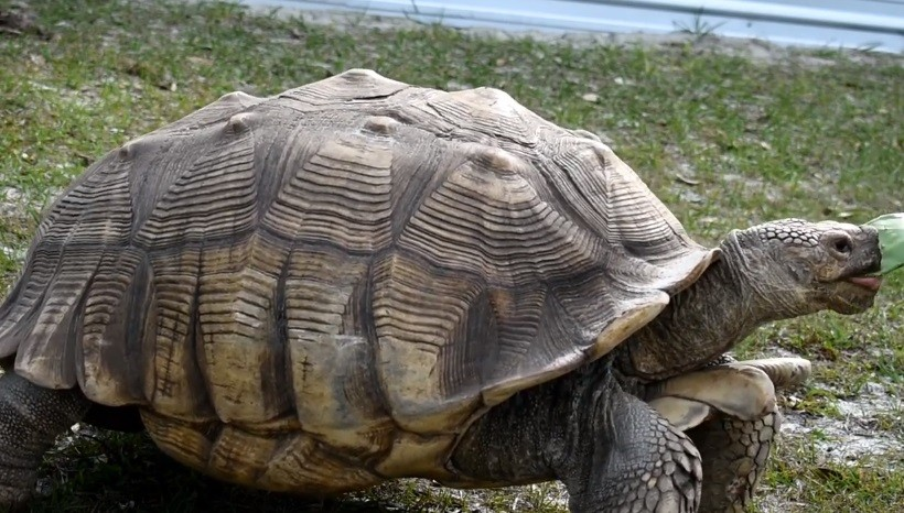 Full-grown Sulcata Tortoise