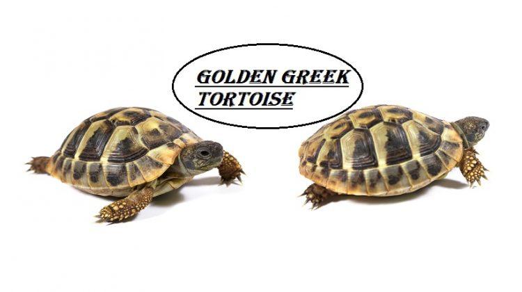 Golden Greek Tortoise | Size, Lifespan, Care, Diet, Price